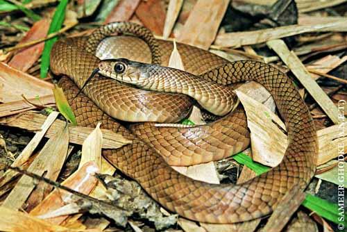 Andaman & Nicobar Snakes - Ptyas mucosa ( Indian Rat Snake )